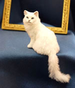 White Persian cat by Kerri Pajutee in 1/12 scale.