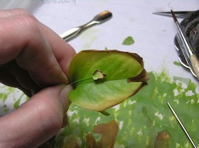 A Hosta leaf in 1/12 scale, Carolyn Mohler Kraft's process towards her Fellow submission.